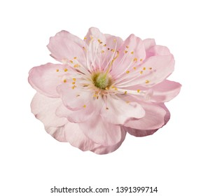 Sakura flower isolated on white background with clipping path. Beautiful flower with pink petals and yellow stamens. Detailed high resolution image for design.