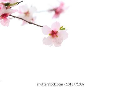Sakura flower or Japanese Cherry Blossoms (Prunus serrulata) isolated on white background. (Selective Focus)