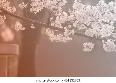 The sakura  flower on spring season soft and select focus on flowers.