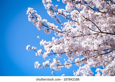 Sakura Flower tree