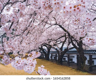 Sakura flower tree branch Cherry blossom in Castle Spring season Japan landscape