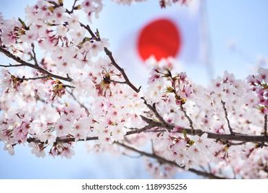 Sakura Flowers Background art Design. Spring Sacura Blossom. Japan