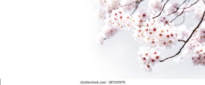 Sakura flowers background. cherry blossom isolated white background
