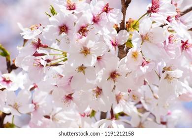 Sakura Flowers Background  Spring Sacura Blossom. Japan