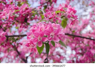 Sakura flowers as a bright pink floral background (shallow DOF)