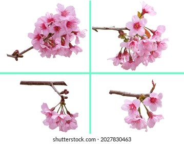 Sakura flowers, a bunch of wild Himalayan cherry blossom pink flowers with young leaves budding on tree twig isolated on white background with clipping path. - Shutterstock ID 2027830463