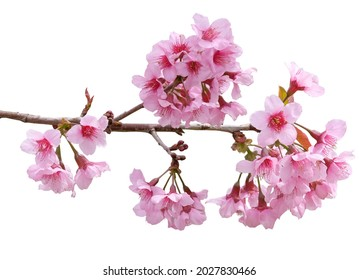 Sakura flowers, a bunch of wild Himalayan cherry blossom pink flowers with young leaves budding on tree twig isolated on white background with clipping path. - Shutterstock ID 2027830466