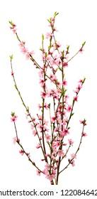Sakura flowers isolated on white background