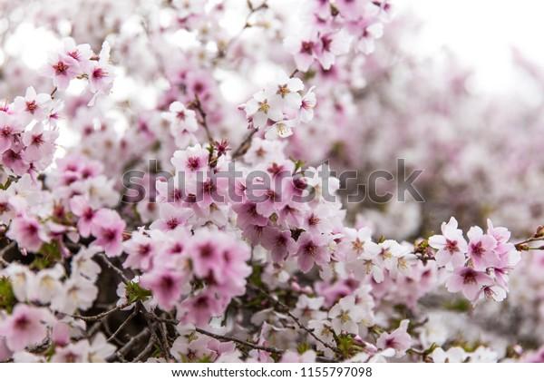 Sakura Flowers Japan Stock Photo Edit Now 1155797098
