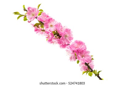 sakura flowers on a white background