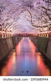 Sakura Full Bloom at Meguro Canal at Night time and the walking street