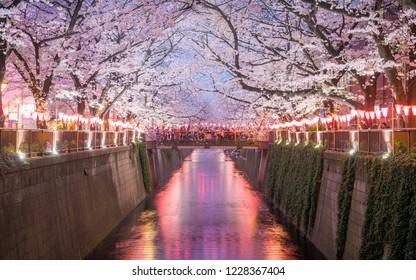 Sakura Full Bloom at Meguro Canal at Night time and the walking street, Tokyo, Japan, 28th March 2018