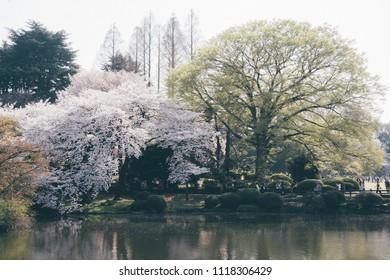 Sakura full bloom in Shinjuku Gyoen National Park
