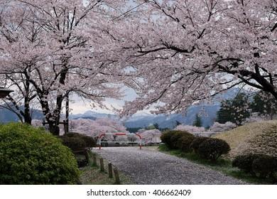 sakura in Matsumura Park