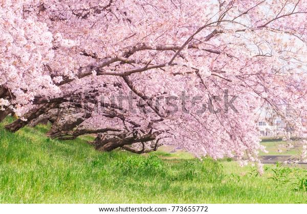 Sakura in the Okazaki park.Japan