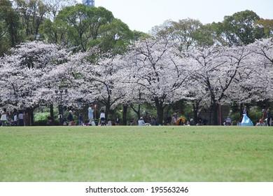 Sakura of Osaka Castle Nishinomaru garden