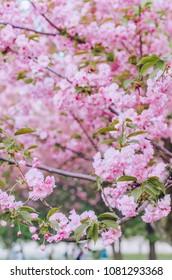Sakura in the park