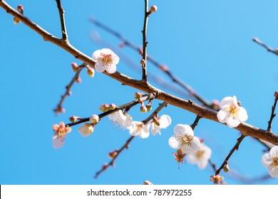 Sakura Peach or cherry blossom Japanese pink flowers, nature park outdoor background concept. Hanami festival spring begins
