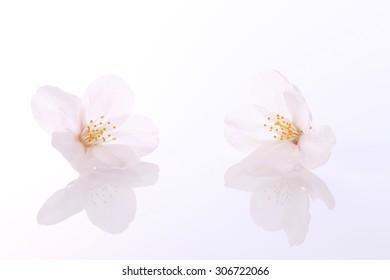 sakura, petal