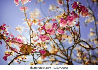 Sakura pink blossom tree flowers, close up branch, outdoor.