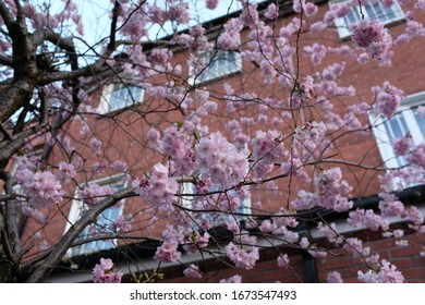 Sakura Pink Cherry Blossom Tree Thin Branches in Front of Terraced Houses in Spring, Soft Focus, Close Up, Blue Sky in Background