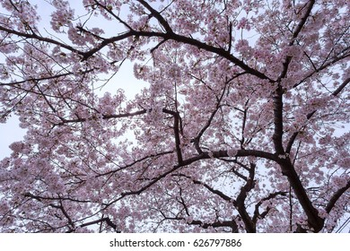 Sakura pink sky blue in Kyoto japan