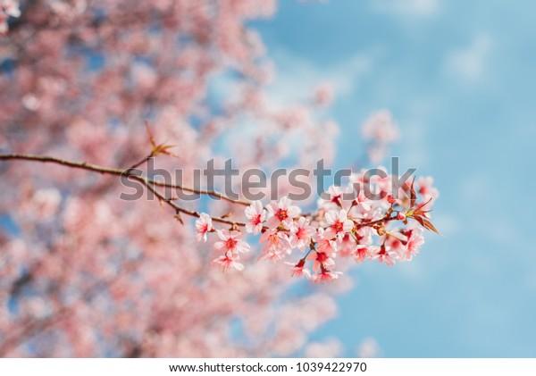 Sakura pink Thailand background fresh