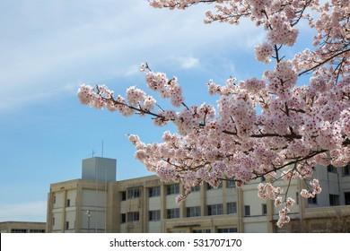 Sakura and the school building