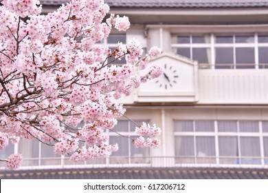 Sakura and school building.