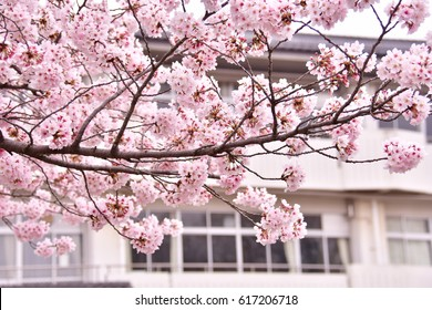 Sakura and school building in Japan. School entrance ceremony. Kindergarten, Elementary, junior high and high school. Dreams and expectations.
