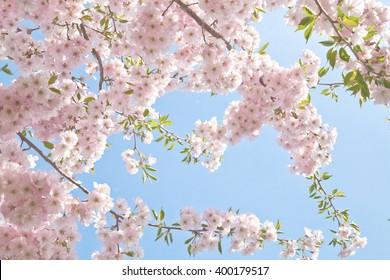 Sakura season, Cherry Blossom. Background with flowers on a spring day. (soft focus)