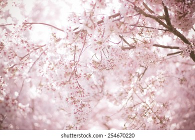 Sakura season or Hanami. Abstract Sakura Background. Cherry Blossom is known as Sakura in Japanese.  [Soft focus, Texture / Background]
