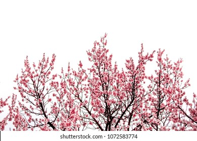 Sakura Spring landscape with blooming pink tree isolated on white background Beautiful concept of romance and love with delicate sakura flowers on a sunny day Japanese sakura garden
