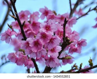 Sakura, Thailand, pink, blooming throughout the Khun Wang valley, Doi Inthanon