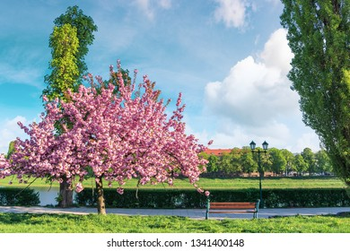 sakura tree in blossom on the embankment. bench and lantern near the foot path. sunny springtime forenoon. fluffy clouds on the sky. location Uzhgorod, Ukraine.