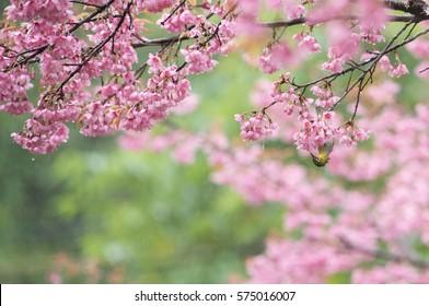 Sakura tree or cherry blossom tree after rain with rain drops, and bird
