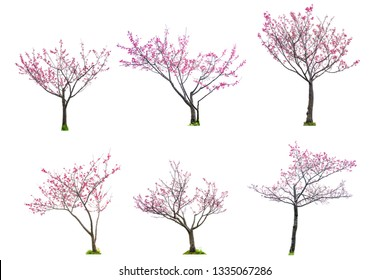 Sakura tree or cherry blossom tree with full bloom pink flower isolates on white background