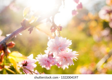Sakura tree chrerry in the spring in full blossom