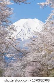 Sakura tree and Mountain Fuji at Oshino Hakkai in spring season