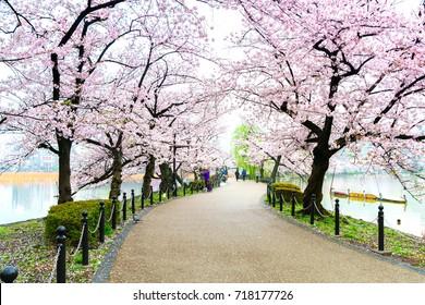 Sakura tree side walkway in Ueno Park at Tokyo of japan
