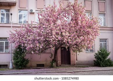 Sakura tree spring old city street Uzhhorod flowering trees