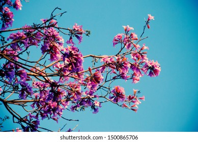 Sakura tree or Wild Himalayan Cherry wiht light blue sky background. Beautiful pink flowers blossom under sunshine.