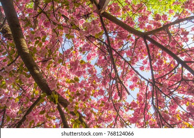 Sakura trees in blossom