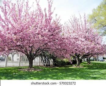 Sakura trees in Washington, USA, April 7, 2010