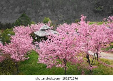 sakura in Wuling Farm, Taiwan