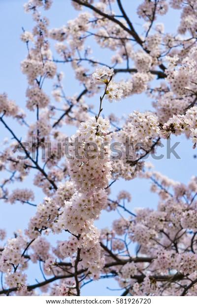 Sakura:Cherry blossom flower on tree