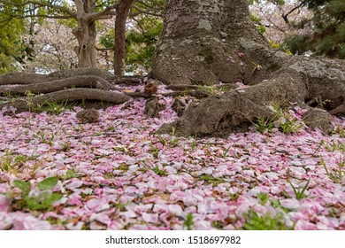 Sakura/cherry blossom petals over ground nesxt to tree roots at Maizuru Park (Fukuoka, Japan)