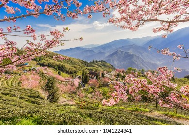 Sakura(Cherry Blossom) And Tea Plantation at A Beautiful Garden in Wufeng Township , Hsinchu, Taiwan