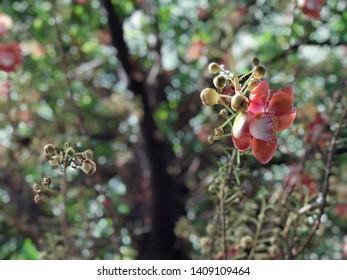 Sal Flower, sala flower in the morning.