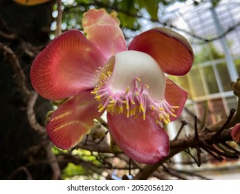 Sal flowers, Cannonball Tree, Sal Tree, Sal of India, Couroupita